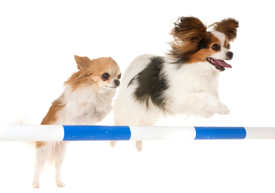 Pet Care Services Dog Agility